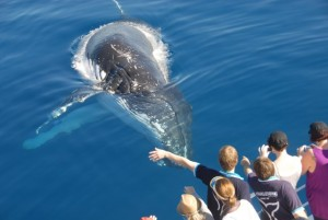 whalewatching-hervey-bay-whalesong-04-lrg